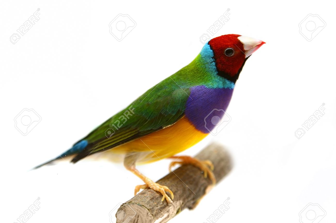 Gouldian Finches clipart #11, Download drawings