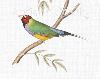 Gouldian Finches clipart #13, Download drawings
