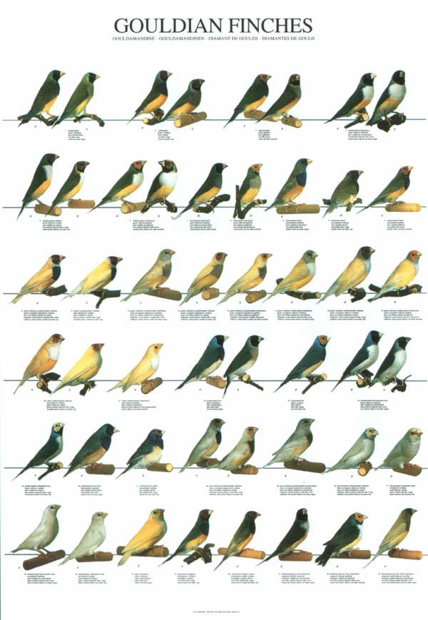 Gouldian Finch coloring #20, Download drawings