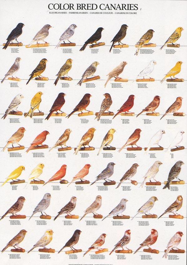 Gouldian Finch coloring #7, Download drawings