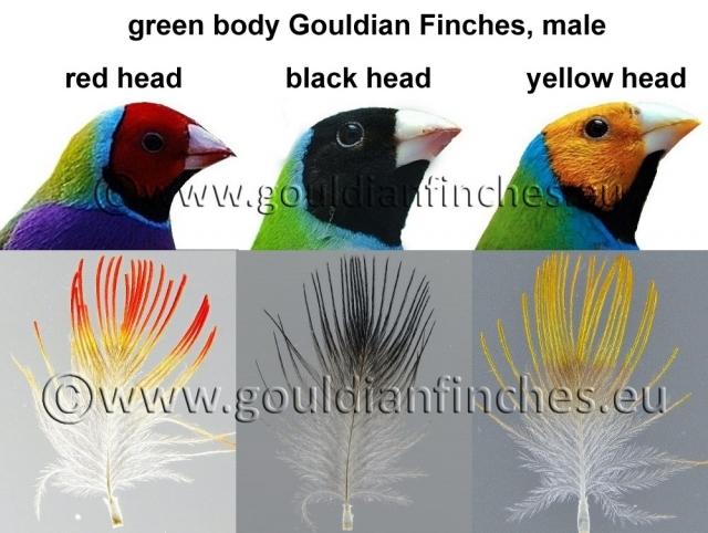 Gouldian Finch coloring #3, Download drawings