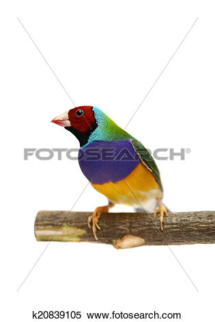Gouldian Finches clipart #7, Download drawings