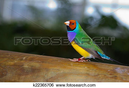 Gouldian Finches clipart #19, Download drawings