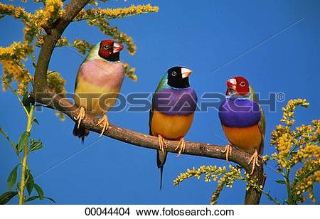 Gouldian Finches clipart #5, Download drawings