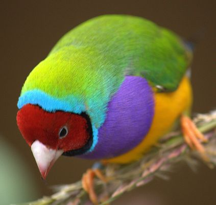 Gouldian Finches coloring #5, Download drawings