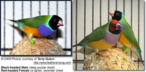 Gouldian Finches coloring #3, Download drawings