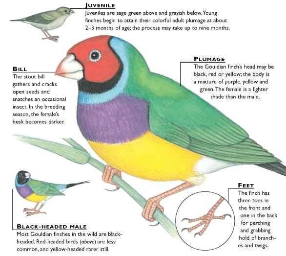 Gouldian Finches coloring #4, Download drawings