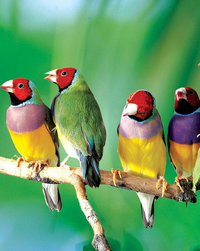 Gouldian Finches coloring #16, Download drawings