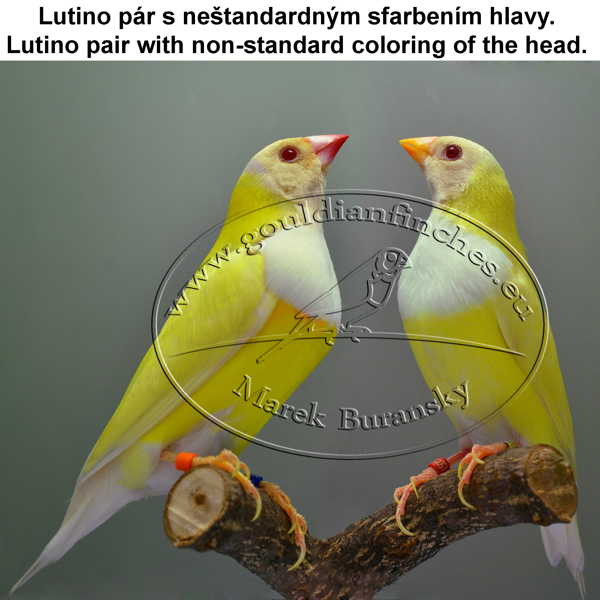 Gouldian Finches coloring #20, Download drawings