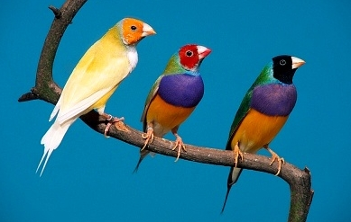 Gouldian Finches coloring #8, Download drawings