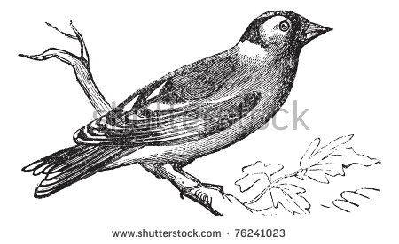 Gouldian Finches svg #7, Download drawings