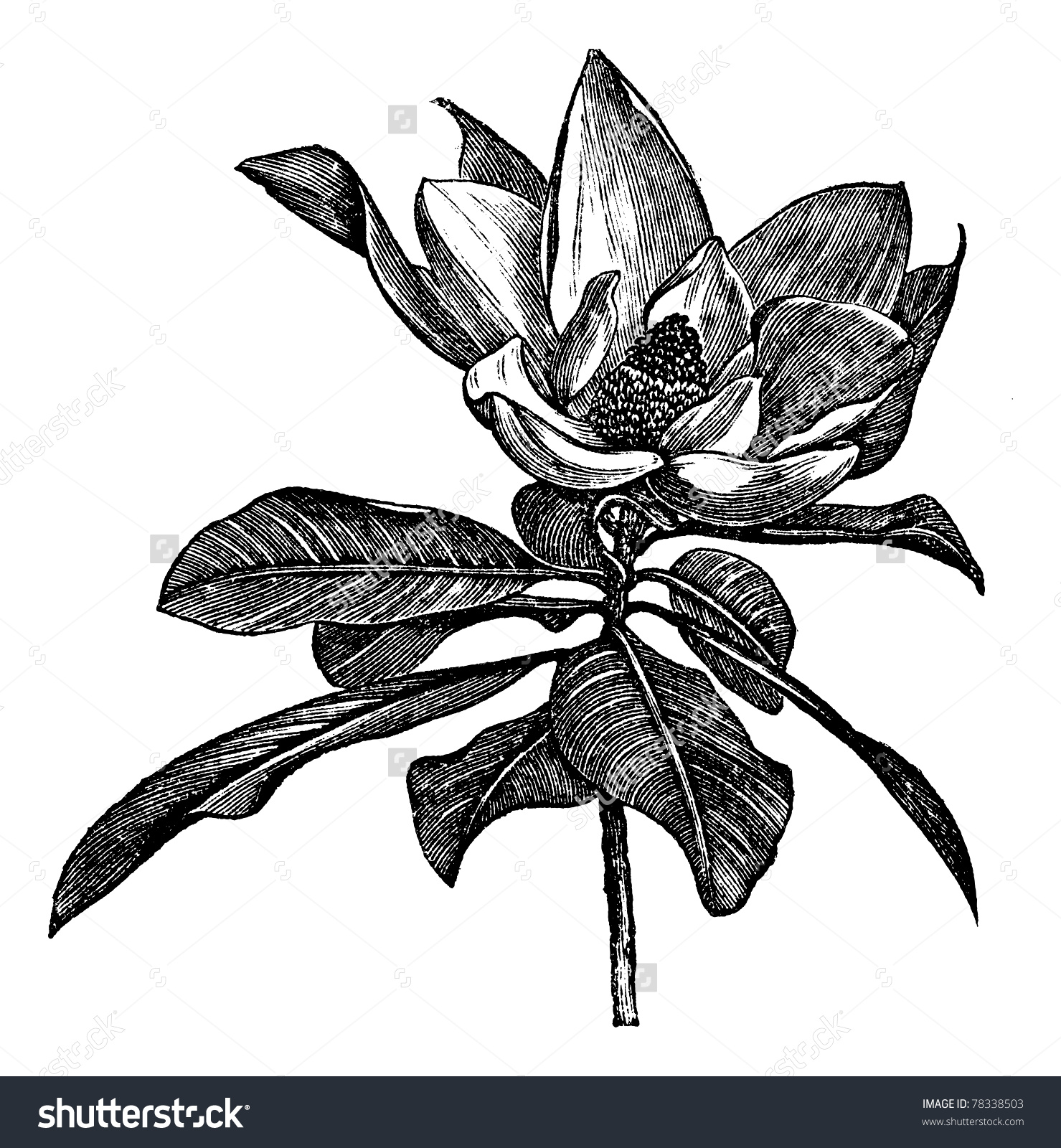 Grandiflora clipart #8, Download drawings