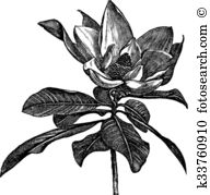 Grandiflora clipart #14, Download drawings