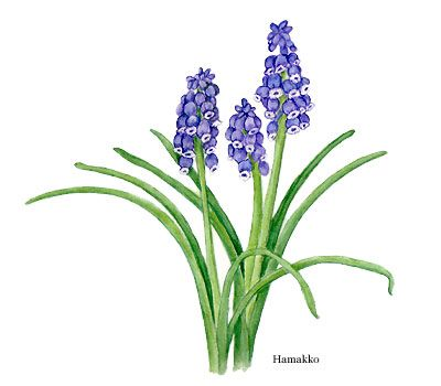 Grape Hyacinth clipart #10, Download drawings
