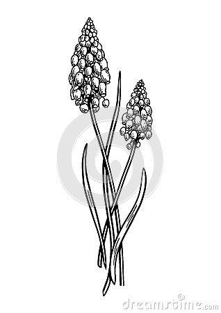 Grape Hyacinth clipart #5, Download drawings