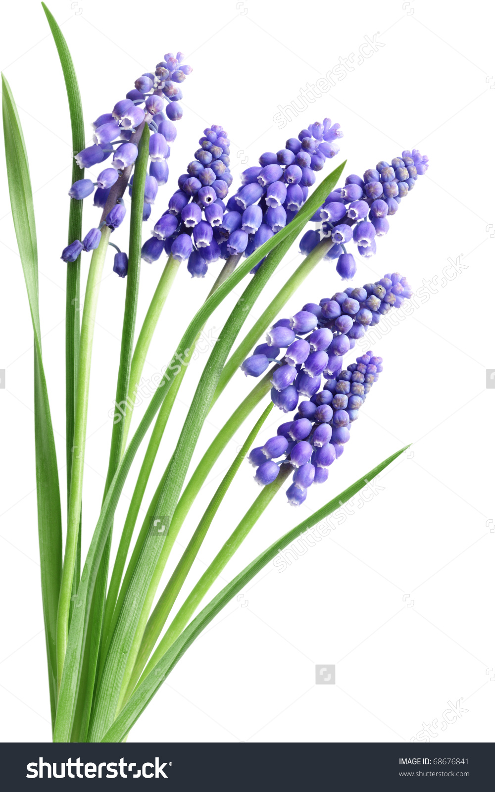 Grape Hyacinth clipart #8, Download drawings