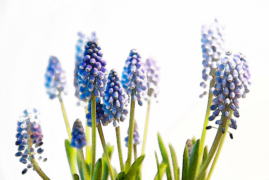 Grape Hyacinth clipart #17, Download drawings