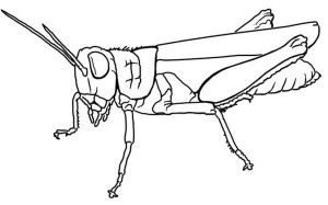 Grasshopper coloring #8, Download drawings