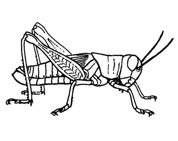 Grasshopper coloring #9, Download drawings