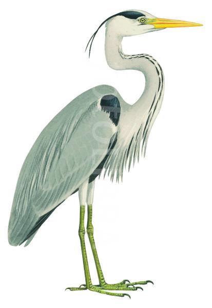 Gray Heron clipart #1, Download drawings