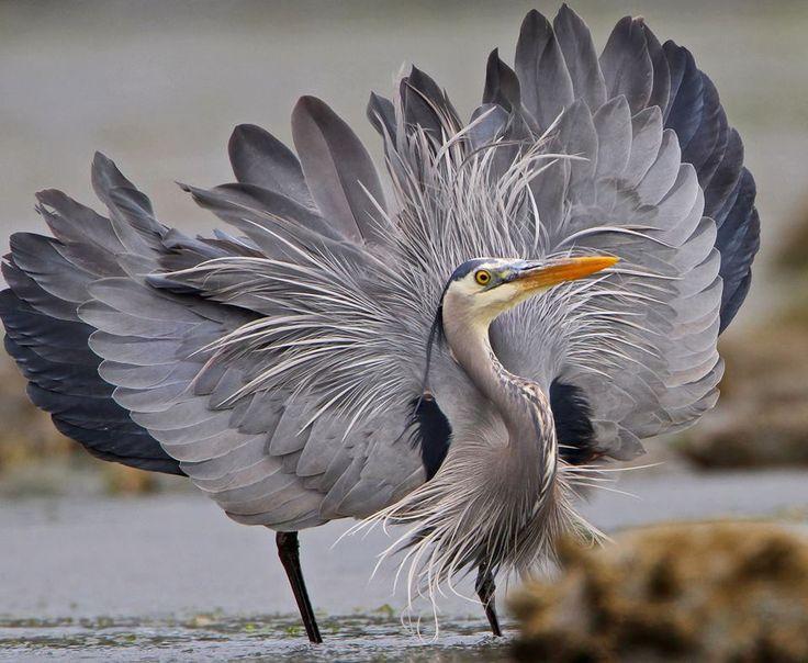 Gray Heron svg #2, Download drawings