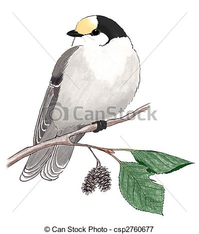 Gray Jay clipart #19, Download drawings