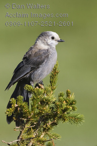 Gray Jay clipart #1, Download drawings