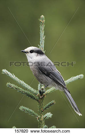 Gray Jay clipart #12, Download drawings