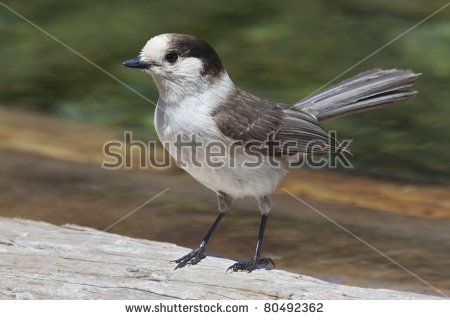 Gray Jay clipart #13, Download drawings