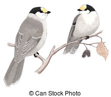Gray Jay clipart #2, Download drawings