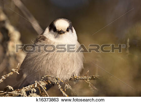 Gray Jay clipart #8, Download drawings
