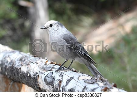 Gray Jay clipart #6, Download drawings