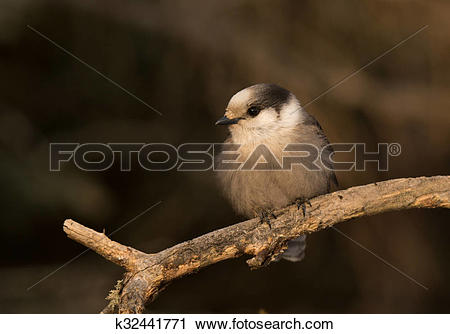 Gray Jay clipart #3, Download drawings