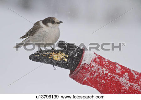 Gray Jay clipart #4, Download drawings