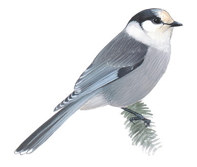 Gray Jay clipart #20, Download drawings