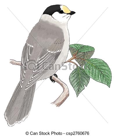 Gray Jay clipart #18, Download drawings