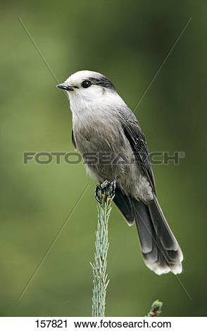 Gray Jay clipart #15, Download drawings
