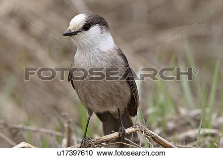 Gray Jay clipart #17, Download drawings