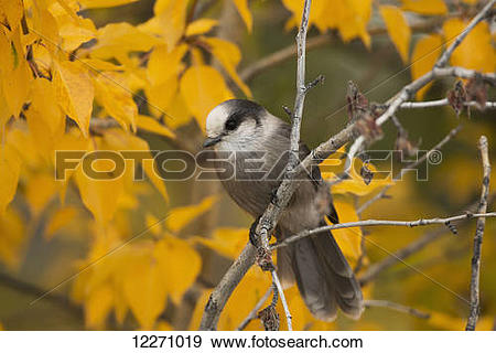 Gray Jay clipart #16, Download drawings