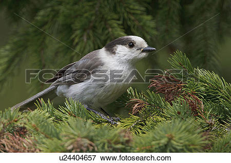 Gray Jay clipart #14, Download drawings