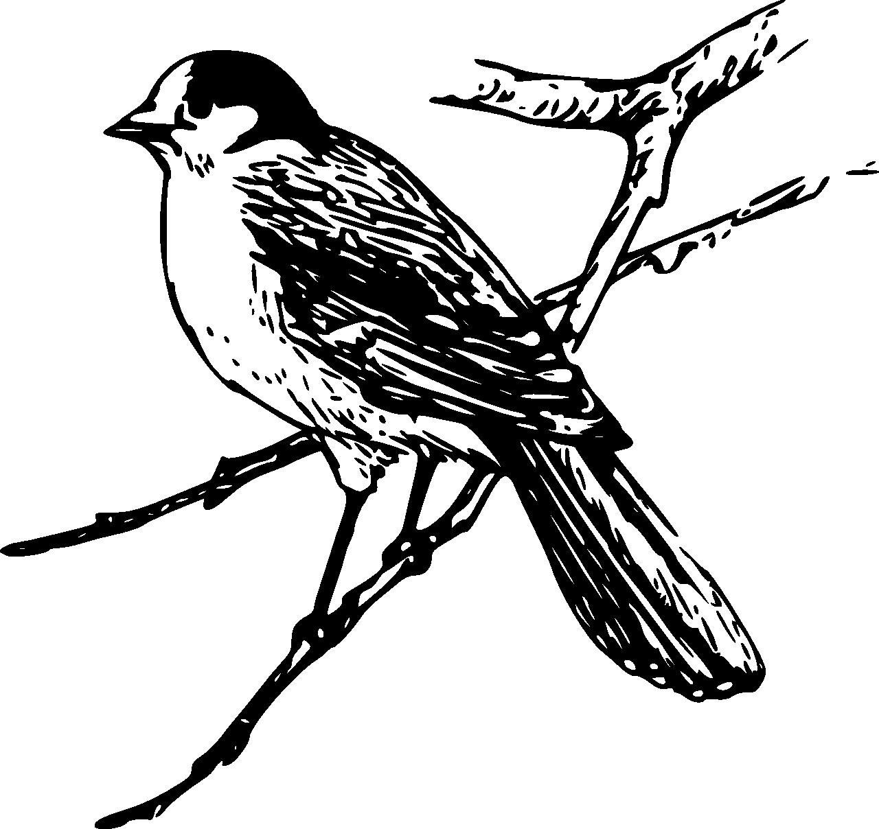 Gray Jay svg #20, Download drawings