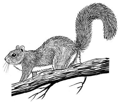 Gray Squirrel clipart #6, Download drawings