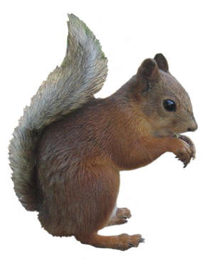 Gray Squirrel clipart #11, Download drawings
