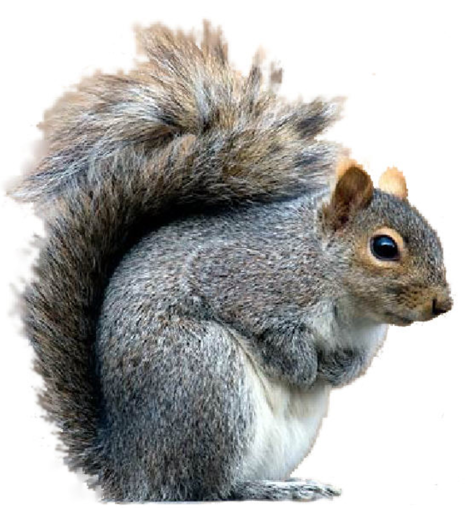 Gray Squirrel clipart #2, Download drawings