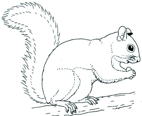 Gray Squirrel coloring #20, Download drawings