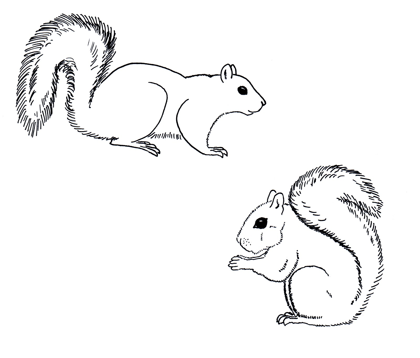 Gray Squirrel coloring #9, Download drawings