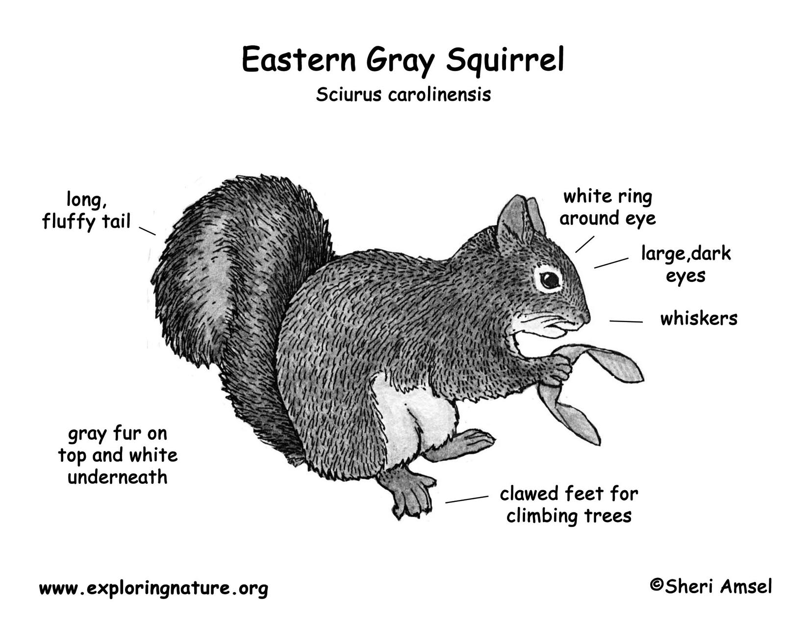 Gray Squirrel coloring #2, Download drawings