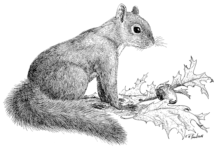 Gray Squirrel coloring #8, Download drawings