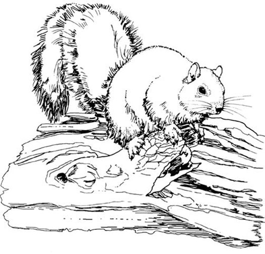 Gray Squirrel coloring #3, Download drawings