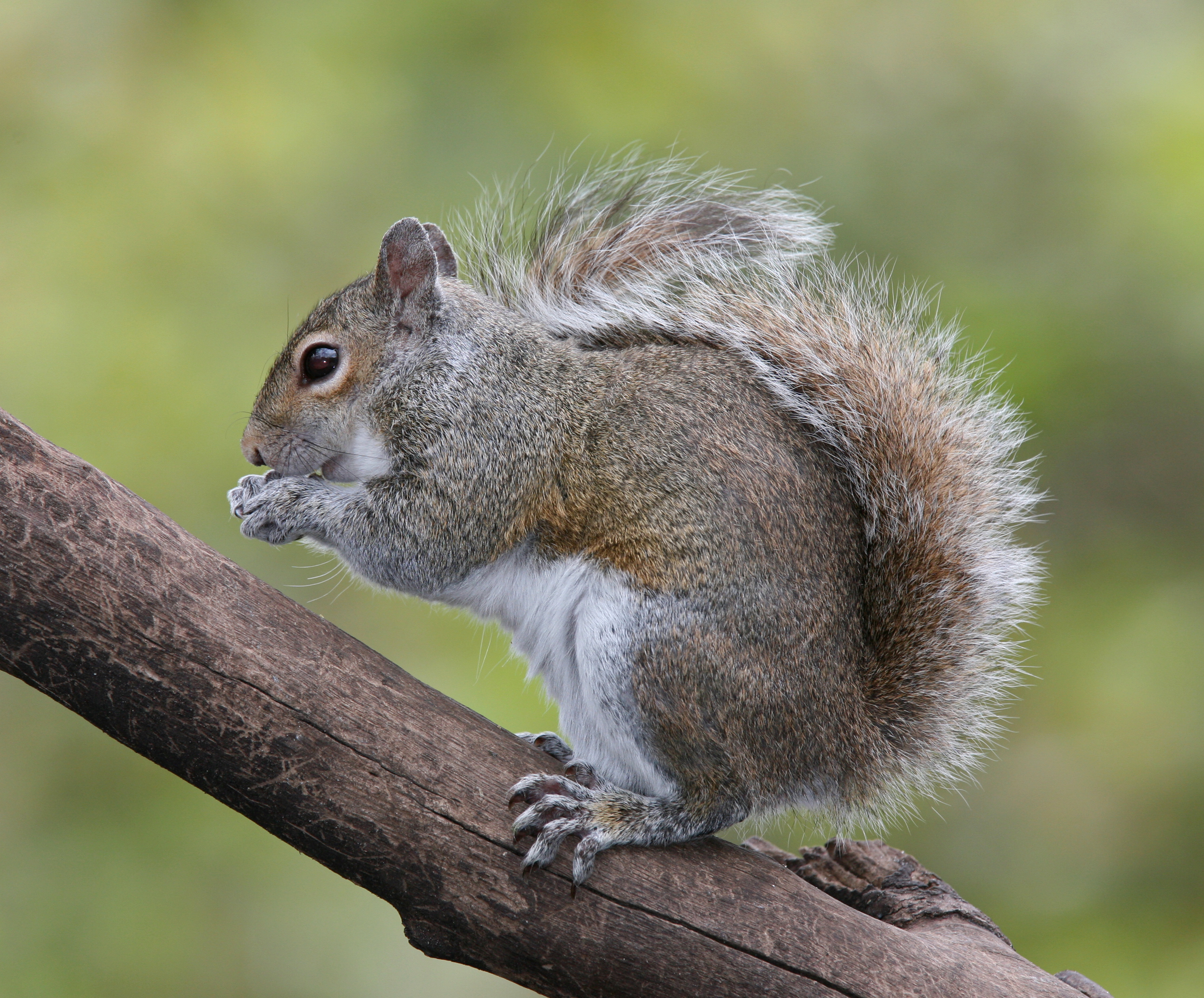 Gray Squirrel svg #6, Download drawings